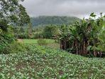 area-perkebunan-holtikultura-khusus-sayuran-di-kakaskasen-ii656645fgdf464.jpg