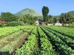 area-pertanian-holtikultura-di-kota-tomohon6.jpg