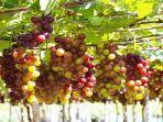 arti-mimpi-anggur-34634.jpg