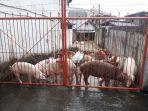 babi-babi-diselamatkan-dari-banjir-di-kampung-tubir.jpg