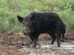 babi-hutan111.jpg