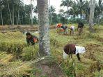 babinsa-dumagin-bersama-petani-panen-05-hektar-padi.jpg