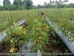 babinsa-koramil-1303-15bintauna-serka-muslimin-membantu-petani-merawat-tanaman-tomat.jpg