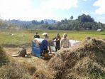 begini-kebersamaan-babinsa-bersama-petani-bintauna-saat-panen.jpg