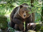 beruang-hutan-dan-anak-anaknya-345.jpg