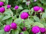 bunga-kenop-kesehatantanamanherbalblogspotcom-1234.jpg