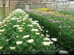 bunga-krisan-tomohon-siap-diekspor-ke-singapura-3473.jpg