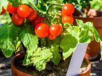 cara-menanam-tomat-agar-tumbuh-subur-fgdft456457.jpg