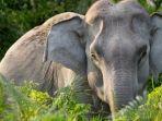 gajah-asia-123.jpg