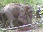 gajah-di-aceh-tengah-mengamuk-bb.jpg