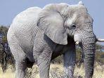 gajah-putih-25325.jpg