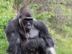 gorila_20180503_131643.jpg