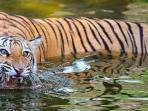 harimau-bengal-india.jpg