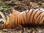 harimau-sumatera-bunting-ditemukan-mati-tergantung-sempat-lolos-dari-jebakan_20180927_193353.jpg