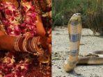 ibu-nikahkan-putrinya-dengan-ular-king-kobra.jpg