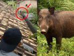 ilustrasi-penampakan-babi-hutan-di-atas-rumah-warga-456464.jpg