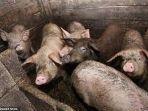 ilustrasi-sekelompok-babi-dalam-kandang.jpg