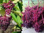 jarang-diketahui-berikut-5-manfaat-buah-parijoto-bagi-kesehatan.jpg