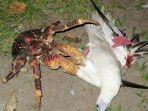 kepiting-kelapa_20171111_205842.jpg