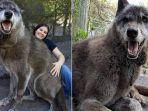 kisah-anjing-serigala-jalani-hari-hari-terakhir-tanpa-pemilik-setelah-alami-kanker.jpg