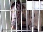 kuda-dipenjara-di-brasil-karena-tendang-mobil_20171115_032336.jpg