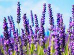 lavender_20171120_210534.jpg