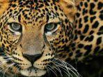 macan-tutul.jpg