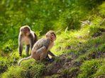 monyet-rhesus-india.jpg
