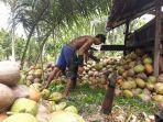 pekerja-kelapa-di-boltim.jpg