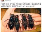 penampakan-murder-hornet-234.jpg