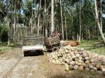 perkebunan-kelapa-di-bolsel-nampak-para-petani-kelapa-saat-beraktivitas-di-kebun.jpg