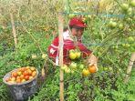 petani-tomat-minahasa_20180802_160305.jpg