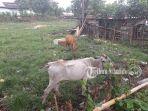 peternakan-sapi-di-kotamobagu-sulawesi-utara_20180608_150616.jpg
