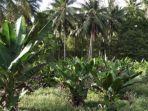 pisang-abaka-salah-satu-produk-unggulan-kabupaten-kepulauan-talaud.jpg