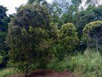 pohon-cengkih-di-perkebunan-minahasa.jpg