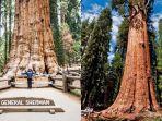 potret-pohon-terbesar-di-dunia-dijuluki-general-sherman-dilindungi-selimut-anti-api34.jpg