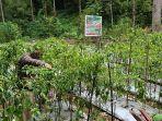 proses-panen-tanaman-demplot-tomat-dan-cabe-di-kampung-salili-kecamatan-siau-tengah-dfhgh.jpg