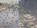 ratusan-burung-pipit-jatuh-berhamburan-4444.jpg