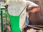 sapi-bermasker-berjenis-limosin-berat-1-ton-lebih-disumbang-bupati-bogor.jpg
