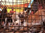 seekor-anjing-dalam-kurungan-di-pasar-beriman-tomohon-sulawesi-utara_20180417_091453.jpg