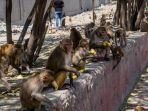 sekawanan-monyet-di-india.jpg