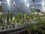 setelah-ke-delapan-negara-komoditas-tanaman-hias-alokasia-2.jpg