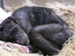 simpanse-mama-di-dalam-kandangnya-saat-menderita-sakit-keras_20171019_234206.jpg
