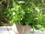 tanaman-mint-yang-dijualnya-di-pasar-bersehati-manado-sulawesi-utara-rabu-30620212.jpg