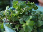 tanaman-mint-yang-dijualnya-di-pasar-bersehati-manado-sulawesi-utara-rabu-30620214.jpg