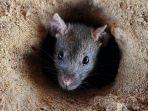 tikus-mutan.jpg