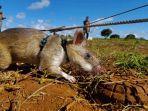 tikus-pelacak-ranjau-darat-bernama-magawa-kini-pensiun.jpg