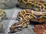 ular-23523.jpg