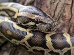ular-piton-florida_20180901_174632.jpg