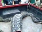 ular-sanca-di-kotamobagu-2.jpg